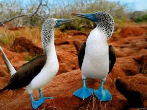 Galapagos-Islands-Blue-Footed-Boobies