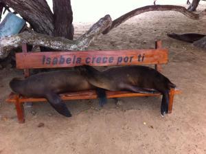 Galapagos seals isabela